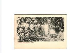 SHELLING COCOA TRINIDAD ,B.W.I,JOLI PLAN ANIME ! REF 58324 C - Trinidad
