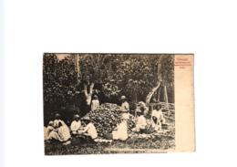 TRINIDAD GATHERING AND BREAKING COCOA PODS ,JOLI PLAN ANIME !!  REF 58327 C - Trinidad