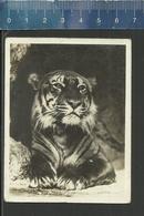 TIJGER TIGRE - JARDIN ZOOLOGIQUE ANVERS - DIERENTUIN ANTWERPEN - ZOO - TIGER - Vieux Papiers
