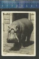 NIJLPAARD HIPPOPOTAME- JARDIN ZOOLOGIQUE ANVERS - DIERENTUIN ANTWERPEN - ZOO HIPPOPOTAMUS NILPFERD HYPPO HIPPOCAMPUS - Vieux Papiers