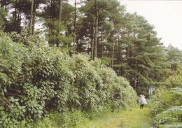 China - An Invasive Species, Crofton Weed (Ageratina Adenophora) In Yunnan - Giftige Pflanzen