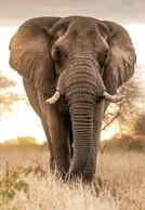 South Africa - 2018 Big Five Elephant Postcard Mint - Elefanten