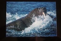 Walrus  In Franz Josef Land, Russia. Modern PC - Russia