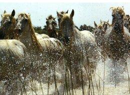 Chevaux Manade De Chevaux Dans Les Marais 1996 CPM Ou CPSM - Horses
