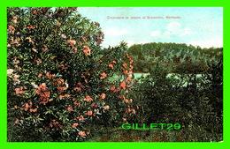 GRASMERE, BERMUDA - OLEANDERS IN BLOOM - CIRCULÉE EN 1911 -  PHOENIX DRUG CO - - Bermudes