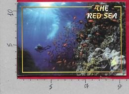 CARTOLINA VG EGITTO - Dive The Red Sea - Mar Rosso - 11 X 16 - ANN. 19?? - Pesci E Crostacei