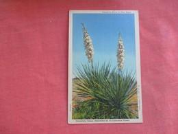 Yuccas In Bloom In West Texas   Ref 3108 - Cactus