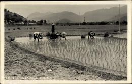Photo Cp Sha Tin Hongkong China, Spring Sowing, Reisfeld, Bauern - Chine