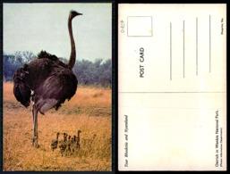 EC [00107] - RHODESIA ZIMBABWE - OSTRICH IN WANKIE NATIONAL PARK - Zimbabwe