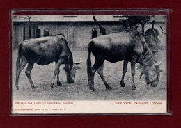 ANIMAUX-CPA ZOOLOGICAL GARDEND LONDON - BRINDLED GNU - Other
