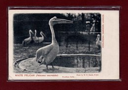 ANIMAUX-CPA ZOOLOGICAL GARDEND LONDON - WHITE PELICAN - Birds