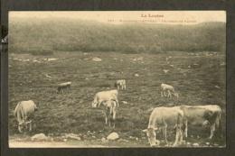 CP-LOZERE - Montagnes D'Aubrac - Troupeau De Vaches - France