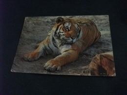 ZOO GIARDINO ZOOLOGICO MILANO TIGRE PANTHERA TIGRIS  PIEGA - Tigri