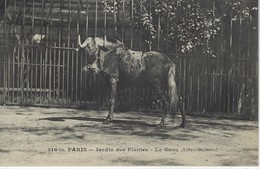 PARIS - JARDIN DES PLANTES - LE GNOU ( AFRIQUE Du SUD ) - Animali