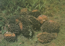 Southern Nigeria (Nigeria) Harvest Of Oilpalm Nuts - Nigeria
