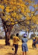 Zambia's Flowering Trees Add Colour And Beauty To The National Parks - Formato Grande Viaggiata Mancante Di Affrancatura - Zambie