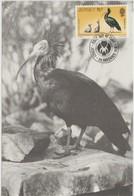 Jersey Carte Maximum Oiseaux 1979 Ibis 203 - Jersey