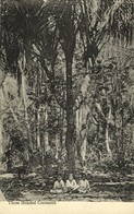 Tonga Islands, Three Headed Cocoanut Tree (1910s) Postcard - Tonga
