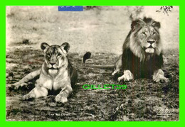 LIONS - UN COUPLE DE LIONS - TRAVEL IN 1956 FROM SOUTH AFRICA - - Lions