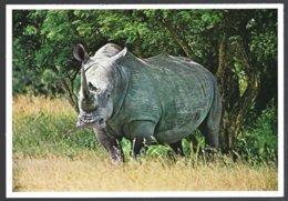 CP N° 20- Animaux & Faune-White Rhino South Africa -Rhinocéros - Rhinocéros