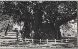 CPSM - MAJUNGA - Le Baobab - Edition Photo Stavy - Madagascar