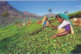 India - Raccolta Del Tea - India