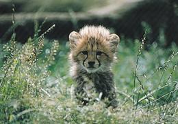 Lion - Leeuw - Löwe - Leone - Leão - León - Animal - Fauna - Lions