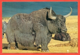Mongolia. A Yak Bull.Post Card. - Bull