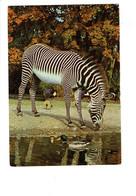 Cpm - ZEBRE - Zebra - N°16 - Serie 5138 - Animaux Sauvages - M.D. - Canard Oiseau Grue - Zèbres