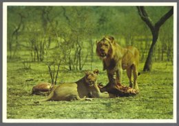 CP N° 500- Animaux & Faune-South Africa -The King Of The Beasts- Lions - Lions
