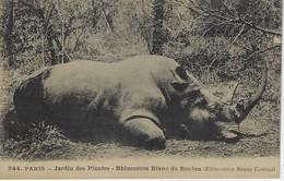 CPA ANIMAL - RHINOCEROS BLANC DU SOUDAN ( Rhinoceros Simus Cottoni ) - Jardin Des Plantes PARIS - Rhinocéros