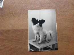 Photo Ancienne Chien En Studio - Cartes Postales