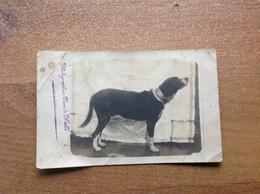Photo  Carte Ancienne Chien En Studio - Cartes Postales