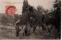 13 PROVENCE CUEILLETTE OLIVES  BOUCHES DU RHONE - France