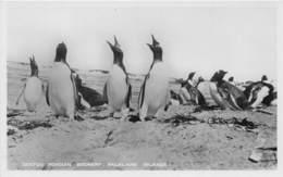 Falkland Islands / 03 - Gentoo Penguin Rookery - Falkland