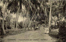 Suriname, TOTTNES, Coconut Palm Trees At Coronie (1910s) Postcard - Surinam