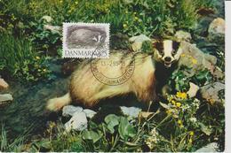 Danemark Carte Maximum 1994 Animaux Blaireau 1090 - Cartoline Maximum