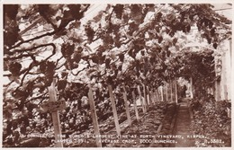 Postcard The World's Largest Vine At Forth Vineyard Kirpen Planted 1891 Average Crop 2000 Bunches RP My Ref  B12747 - Vines