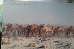 Bahrain Camels - Bahreïn