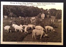 Hollogne-aux-Pierres - Elevage Du Large White Yorkshire - Station Expérimentale Hesby.Lot De Jeunes Truies - Grâce-Hollogne