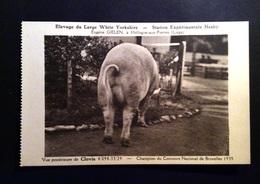 Hollogne-aux-Pierres - Elevage Du Large White Yorkshire - Station Expérimentale Hesby.Vue Postérieure De Clovis - Grâce-Hollogne