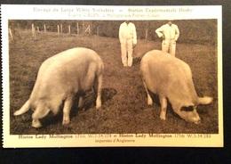 Hollogne-aux-Pierres - Elevage Du Large White Yorkshire - Station Expérimentale Hesby.Histon Lady Mollington 170 & 175 - Grâce-Hollogne