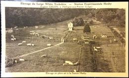 Hollogne-aux-Pierres - Elevage Du Large White Yorkshire - Station Expérimentale Hesby.Elevage En Plein Air - Grâce-Hollogne