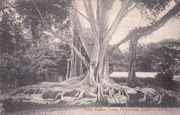 CPA Ceylan - India Rubber Trees - Peredeniya Gardens, Kandy - Sri Lanka (Ceylon)