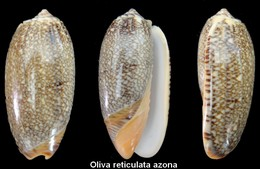 Oliva Reticulata Azona - Seashells & Snail-shells