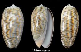 Oliva Elegans - Seashells & Snail-shells