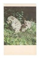 04905 Snow Leopard - Kyrgyzstan