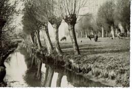 Wilgen In Brabant - België
