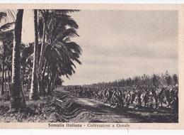 SOMALIA ITALIANA COLTIVAZIONI A GENALE  AUTENTICA 100% - Somalia
