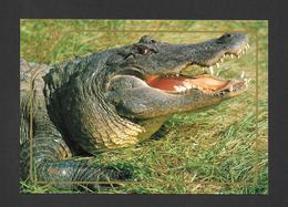 ANIMAUX - ANIMALS - ALLIGATEURS - ALLIGATORS CAN BE FOUND TROUGHOUT FLORIDA - GRAND FORMAT 6¾ X 4¾ Pouces - 16½ X 12 Cm - Animaux & Faune